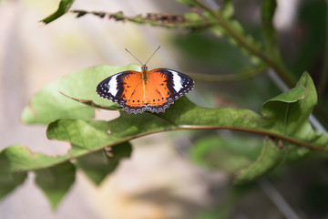 Schmetterling in Pausenstellung
