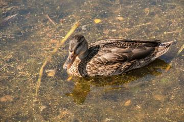 Ente auf dem See
