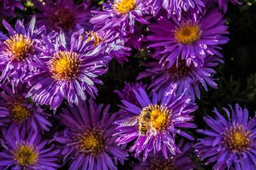 Insekt auf violetten Blumen