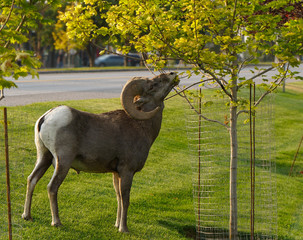 A large Bighorn Ram snacks on a tree in town.