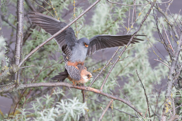 Mating red-footed falcons