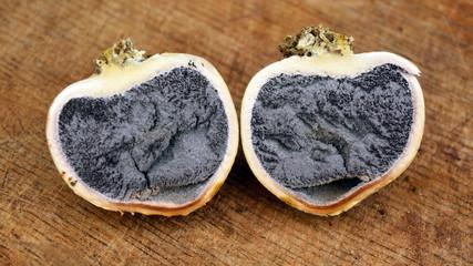 scleroderma citrinum fungus