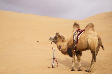 camel, badain jaran-china