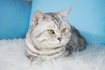 Adult beautiful cat. Elegant pedigree cat with green eyes. Scottish, British breed