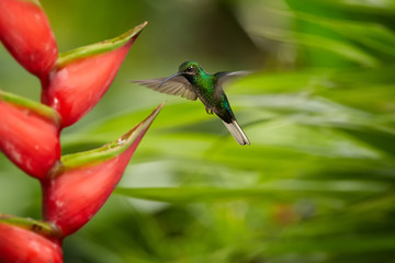 White-tailed Sabrewing, Campylopterus ensipennis, endemic hummingbird flying over red heliconia bihai flower against blurred background. Due hurricane Flora almost extinct hummingbird, island Tobago.