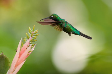 White-tailed Sabrewing, Campylopterus ensipennis, very rare,endemic hummingbird hovering over pink flower against blurred background.Almost extinct specie of hummingbird from carribean island Tobago.