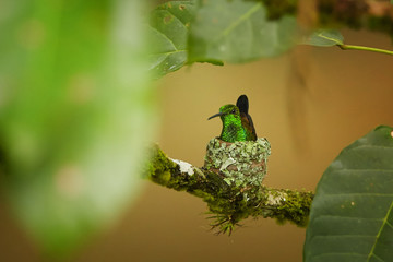 Close up, shining green hummingbird with coppery colored wings, Copper-rumped Hummingbird, Amazilia tobaci, nesting among green leaves. Hummingbird on nest. Trinidad and Tobago.