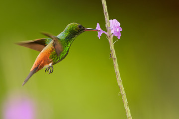 Shining green hummingbird with coppery colored wings and tail Copper-rumped Hummingbird Amazilia tobaci hovering and feeding from violet flower. Colorful distant green background.Tobago and Trinidad