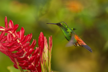Shining green hummingbird with orange and blue tail, Copper-rumped Hummingbird Amazilia tobaci hovering over red flower. Colorful distant green and orange background. Trinidad and Tobago.