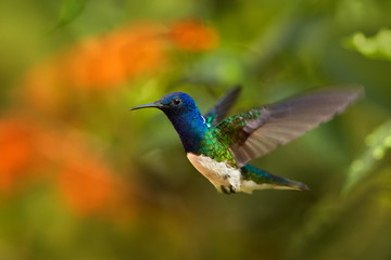 Close up photo, beautiful shining blue hummingbird, White-necked Jacobin Florisuga mellivora hovering in the air. Blurred colorful flowers in background, nice bokeh. Rain forest, Colombia.
