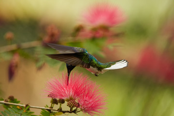 Close up photo of beautiful shining blue hummingbird, White-necked Jacobin, Florisuga mellivora, feeding on nectar from red, brush flower of Albizia tree. Mimosa flowers in background. Trinidad.