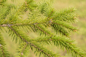 fir branches on green background, Christmas tree