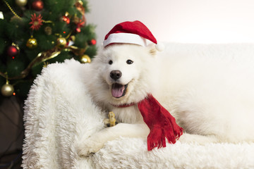 White dog in a red scarf and hat. A large white dog lies on a white sofa near the New Year tree. The dog has a red hat and scarf on his head
