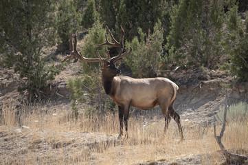 Bukk Elk