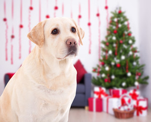 Christmas and new year concept - golden retriever in decorated room with christmas tree