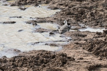 Crocodile in mud on the shore of the lake in Yala National Park in Sri Lanka.