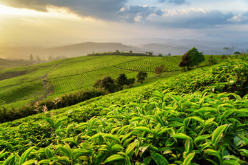 Scenic rows of green tea bushes and colorful sunset sky