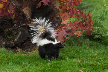 Fototapete - Striped Skunk (Mephitis mephitis) Tail Up By Fall Log