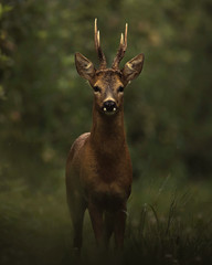 Dark deer in the woods