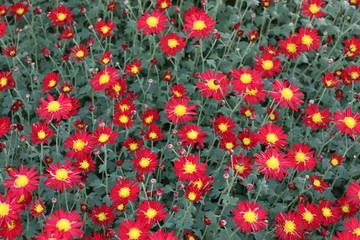 赤い小さな菊の花