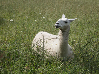 white domestic llama sitting