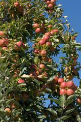Braeburn apple orchard in rural Hawkes Bay New Zealand