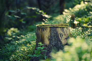 Wall Mural - North scandinavian pine forest, Sweden natural travel outdoors vintage hipster background with the stump