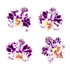 Purple-white Spotted Orchids Phalaenopsis    beautiful flowers set second vintage on a white background  vector illustration closeup isolated editable  hand draw