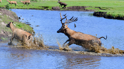 Male Père David's deer chasing a female through blue water