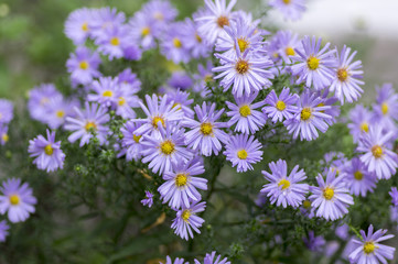 Symphyotrichum novae-angliae Michaelmas daisy in bloom, autumn ornamental herbaceous perennial plant