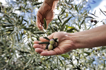 Hands adult woman engaged to pick olives.