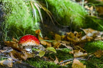 red death-cup mushroom