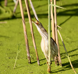 Close up photo of female little bittern screams sitting on a reed