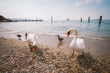 a group of white swans and ducks on the beach in Italy.