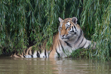 Siberian Tiger (Panthera tigris altaica)/Amur Tiger cooling off in thick green foliage at the edge of a river