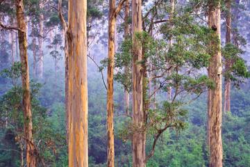 Karri (Eucalyptus diversicolor) forest, Western Australia