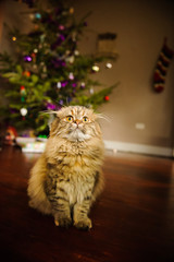 Scottish Fold purebred cat
