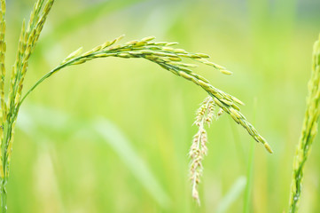 rice plant or rice field