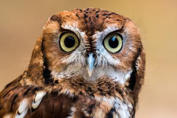 Screech Owl Staring
