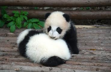 Baby panda playing and sleeping outside