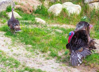 Male American Turkey landscape with green hills