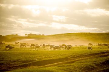Mongolia flock