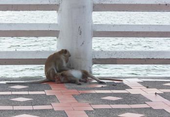 Two monkeys find fleas.