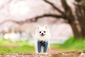 桜と笑顔のチワワ 2