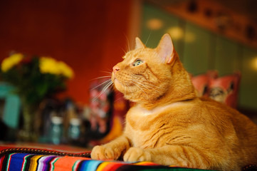 Orange cat lying down on colorful striped blanket in house