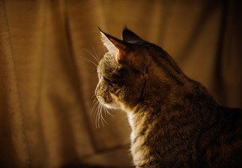 Tabby domestic shorthair cat looking out window with curtain