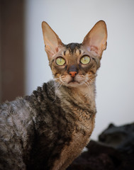 Cornish Rex cat portrait