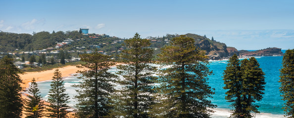 Avoca Beach Panoramic View from above in between Norfolk Pine Trees on Central Coast, Australia