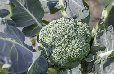 Broccoli growing in field