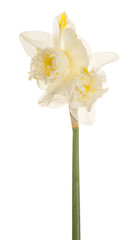 daffodil flower isolated